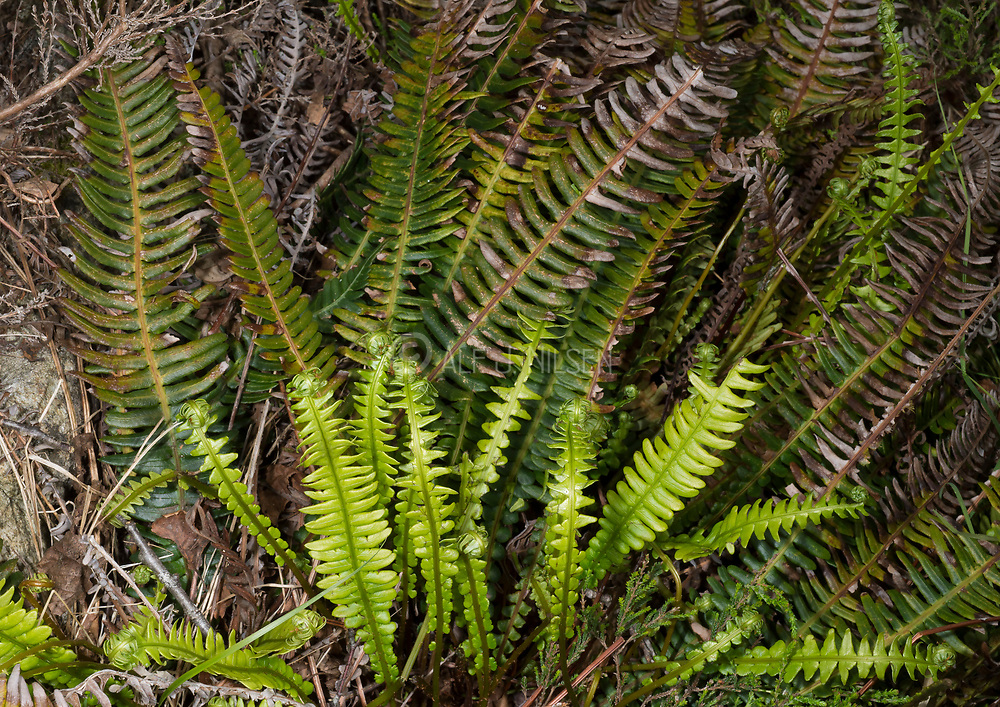 Deer fern (Blechnum spicant) roling out new leaves in eraly summer. Photo from south-western Norway in June.