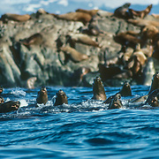 "If I paddled past a sea lion haul-out I always attracted a tightly-packed group of noisy sea lions like a magnet: they would extend their heads as high as they could to get a better look at me. They always stayed bunched together rather like a shoal of fish that employs the ""one in the middle"" defensive group strategy that relies on strength of numbers to increase an individuals chance of survival. They were very vociferous but always kept a safe distance, unless they dived underwater to get a closer look at me: I could see them circling beneath me and looking up at me with their big bulging eyes."