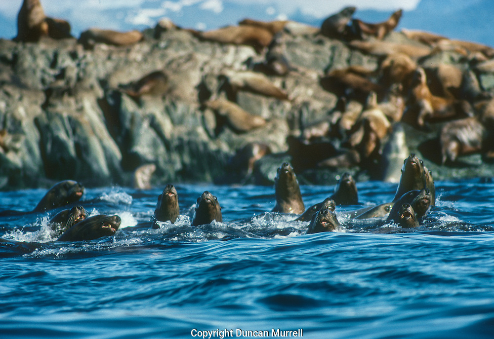 """If I paddled past a sea lion haul-out I always attracted a tightly-packed group of noisy sea lions like a magnet: they would extend their heads as high as they could to get a better look at me. They always stayed bunched together rather like a shoal of fish that employs the """"one in the middle"""" defensive group strategy that relies on strength of numbers to increase an individuals chance of survival. They were very vociferous but always kept a safe distance, unless they dived underwater to get a closer look at me: I could see them circling beneath me and looking up at me with their big bulging eyes."""