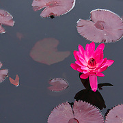 A pink water lily floats among mute red lily pads. Photo by Adel B. Korkor.