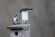 Photographer: Kyle Reynolds<br /> Bird Species: Tree Swallow<br /> Location:<br /> Date Taken: