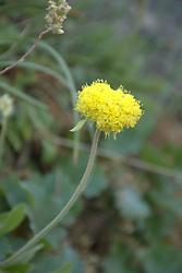 Yellow Puff (Neptunia lutea), Glacier National Park, Montana, US