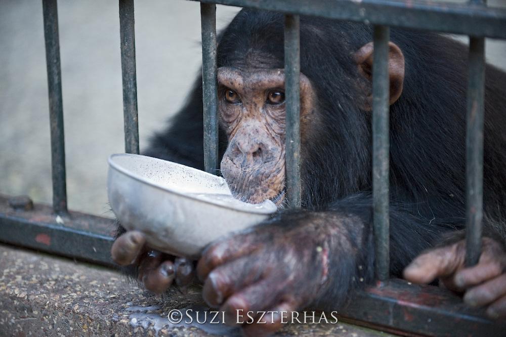 Chimpanzee<br /> Pan troglodytes<br /> Rescued chimpanzee infant (named Leo) drinking Posho meal<br /> Ngamba Island Chimpanzee, Sanctuary <br /> *Captive
