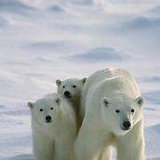 Polar Bear (Ursus maritimus) portrait of mother and cubs. Hudson Bay, Canada