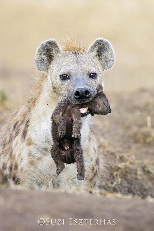 Spotted Hyena<br /> Crocuta crocuta<br /> Mother carrying 3-4 day old cub<br /> Masai Mara Conservancy, Kenya