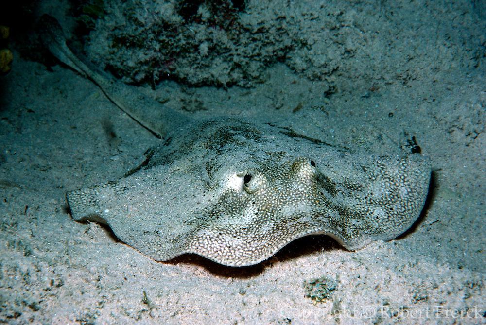 UNDERWATER MARINE LIFE CARIBBEAN, generic Spotted ray Urolophus jamaicensis