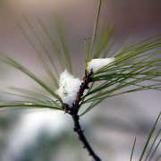 Light snow catches in evergreen needles after winter flurries in rural Loudoun County, Virginia.