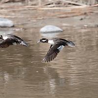 A pair of bufflehead in flight