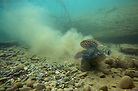 Grayling (Thymallus thymallus) <br /> Male (left) and female spawning, Lake of Thoune, Thoune, Switzerland<br /> Äsche (Thymallus thymallus)<br /> Männchen (links) und Weibchen laichend, Thunersee, Thun, Schweiz<br /> Ombre (Thymallus thymallus)<br /> Mâle (à gauche) et femelle sur la frayère, Lac de Thoune, Thoune, Suisse<br /> 19-03-2009