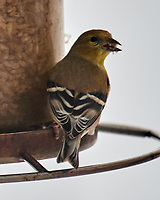 American Goldfinch (Spinus tristis). Image taken with a Nikon D850 camera and 600 mm f/4 VR lens.