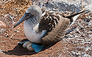 "A Blue-footed Booby (Sula nebouxii) parent nests two eggs on North Seymour Island, part of the Galápagos archipelago, a province of Ecuador 972 km offshore west of the continent of South America. The Sulidae family comprises ten species of long-winged seabirds. The name ""booby"" comes from the Spanish term bobo, which means ""stupid"" or ""fool/clown,"" which describes its clumsy nature on land. Like other seabirds, they can be very tame. Blue-footed Boobies breed in tropical and subtropical islands of the Pacific Ocean."