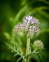 Lacy Phacelia (Phacelia Tanacetifolia). Image taken with a Nikon 1 V3 camera and 70-300 mm VR lens.