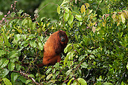 Guyanan Red Howler Monkey (Alouatta macconnelli)<br /> Native to Guyana, Trinidad, French Guiana and Brazil.<br /> Iwokrama Forest Reserve<br /> GUYANA<br /> South America