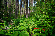 Overgrown trail of thimbleberry