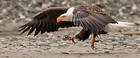 A mature bald eagles runs across the river bank to challenge another eagle who is eating a salmon. Haines, Alaska. November 2010.