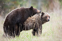 A pair of grizzly bears mating