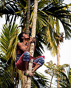 Climbing to c ollecting betel nuts from areca palms in Kaziranga, Assam, India.