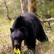 Black Bear, (Ursus americanus) Adult in southeastern Alaska.