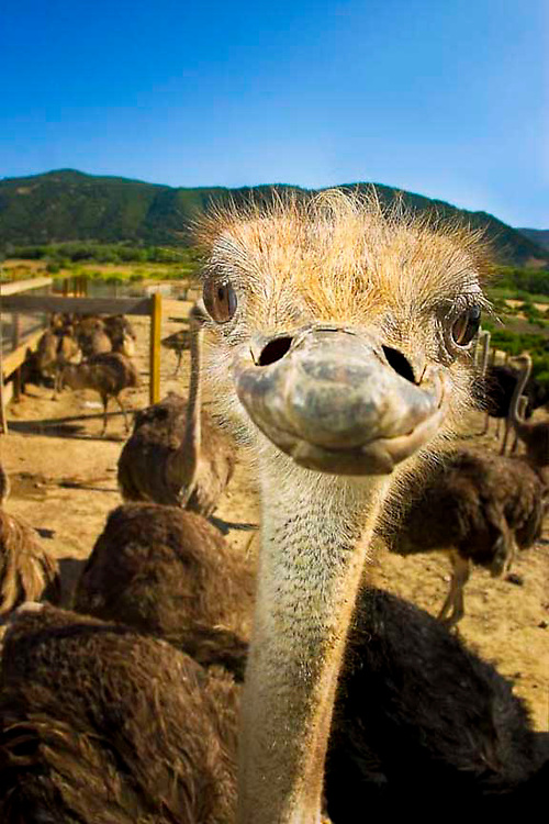 """Female African Ostrich posing for the camera at """"Ostrich Land"""" in Buellton California. This was shot handheld with a flash off camera. .(805) 686-9696  ostri@ostrichland.com"""