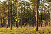 Longleaf pine (Pinus palustris Miller) forest