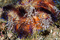 Zebra Crabs on Fire Urchin<br /> <br /> Shot in Indonesia
