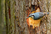 A red-breasted nuthatch (Sitta canadensis) catches an insect at the entrance to its nest in Ravenna Park, Seattle, Washington. Red-breasted nuthatches line the entrance to their nest with sticky pitch, which may be intended to trap insects and serve as an obstacle for predators. The nuthatches avoid the pitch by flying straight through the hole. Red-breasted nuthatches, which feed mainly on insects and spiders during the summer nesting months, found several insects trapped in the pitch surrounding the hole to its nest.