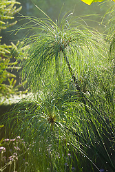 Dew on Cyperus papyrus in the exotic garden at Great Dixter