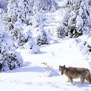 Gray Wolf, (Canis lupus) Adult in Snowy foothills of Rocky mountains. Montana. Captive Animal.