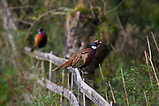 Male pheasants perched on a fence, Cotswolds, Oxfordshire, England