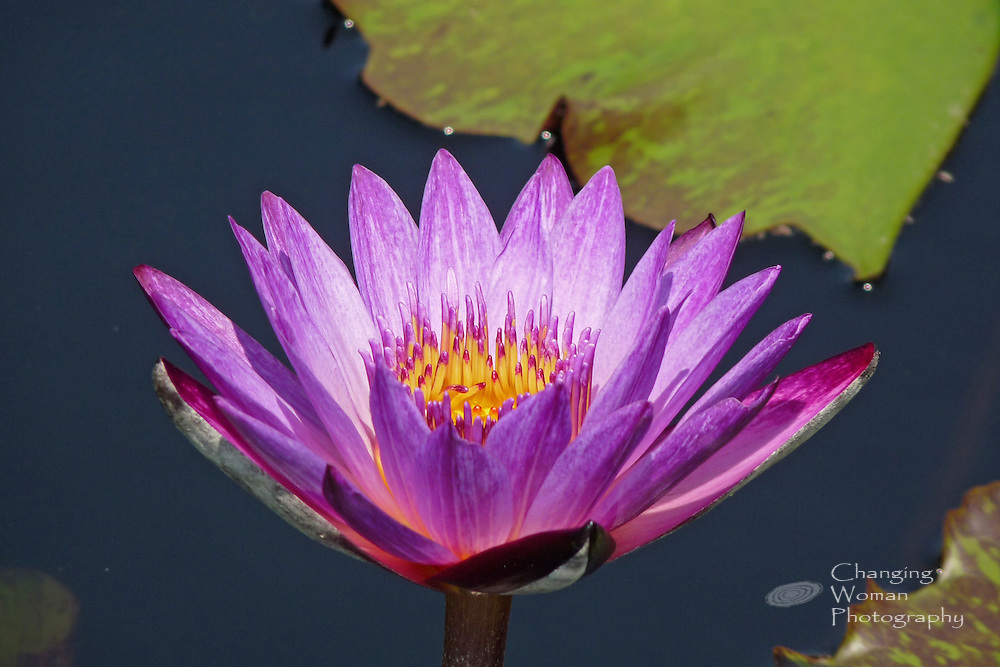 """Waterlily bloom displays reddish purple-tipped pink sepia and purple petals characteristic of the """"Lindsey Woods"""" cultivar of Brachyceras Nymphaea; specimen found at Longwood Gardens, July 2010."""