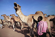 Camel auction at the livestock market (main source of income). Hargeisa, capital of Somaliland, (the Breakaway Republic of Somalia).