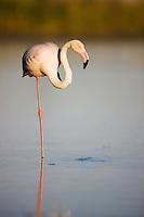 Greater Flamingo (Phoenicopterus roseus) in lagoon, Pont Du Gau, Camargue, France