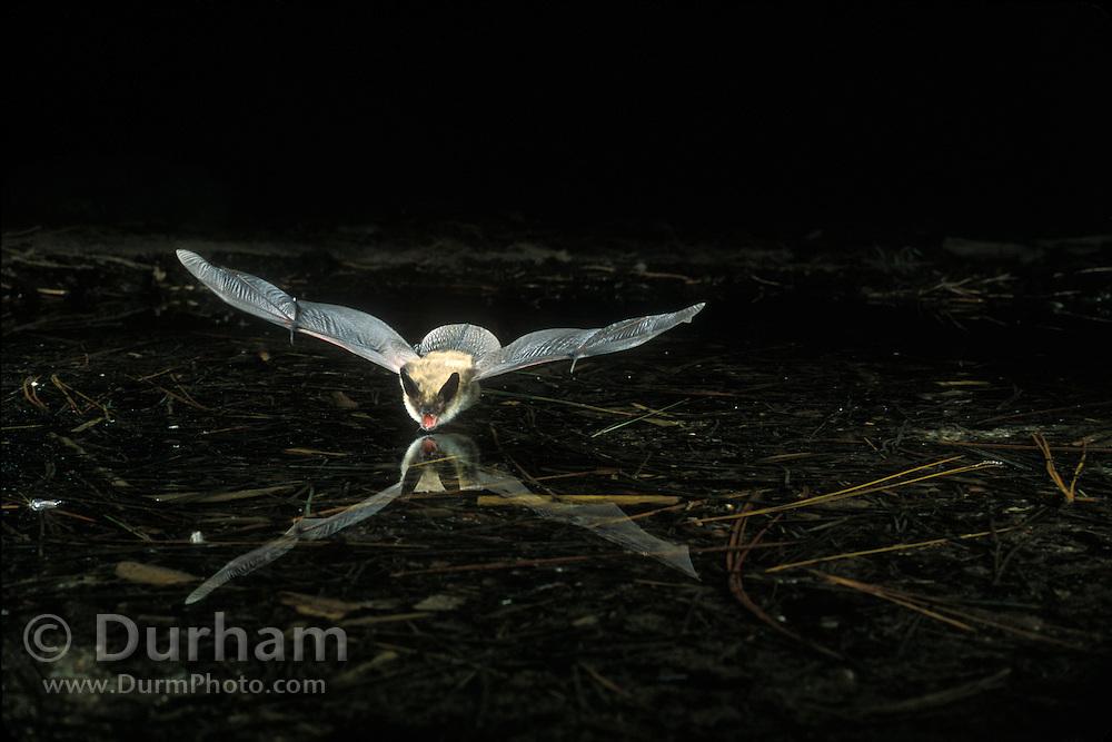A western long-eared myotis (Myotis evotis) flying over a small pond in Oregon's high-desert. Central Oregon near Fort Rock.
