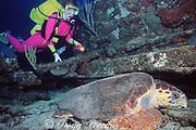 scuba diver and loggerhead sea turtle, Caretta caretta, sleeping on shipwreck off Grand Bahama Island, Bahamas ( Western Atlantic Ocean ) MR 228