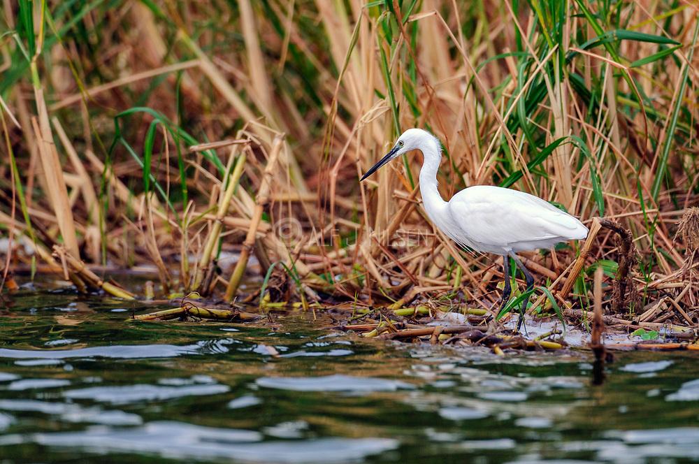 Little Egret (Egretta garzetta garzetta) from the White Nile, Uganda.