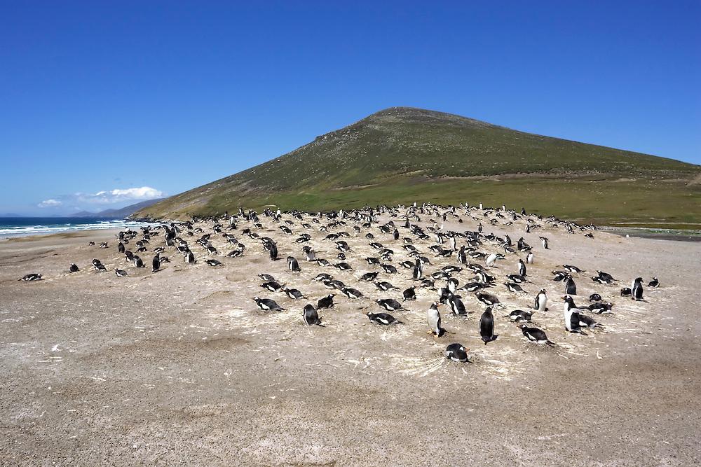 Gentoo Penguin - Pygoscelis papua - colony at the Neck on Saunders Island, Falkland Islands