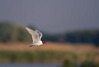 Mediterranean Gull (Larus melanocephalus) Pusztaszer Nature Reserve, Hungary