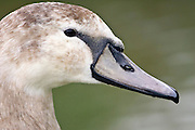 Mute cygnet in the River Windrush,  Burford, UK. Feral birds may be at risk from Avian Flu bird flu virus