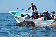 friendly gray whale calf, Eschrichtius robustus, surfaces next to a whale-watching tour boat, San Ignacio Lagoon, El Vizcaino Biosphere Reserve, Baja California Sur, Mexico; some passengers reach over to touch the whale