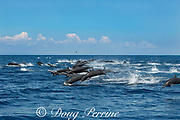 eastern spinner dolphins, Stenella longirostris orientalis, stampeding away from a pod of toothed whales, offshore from southern Costa Rica, Central America ( Eastern Pacific Ocean )