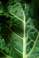 Detail of a Kale leaf.