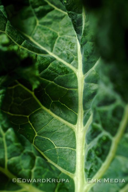 Detail of a Kale leaf.
