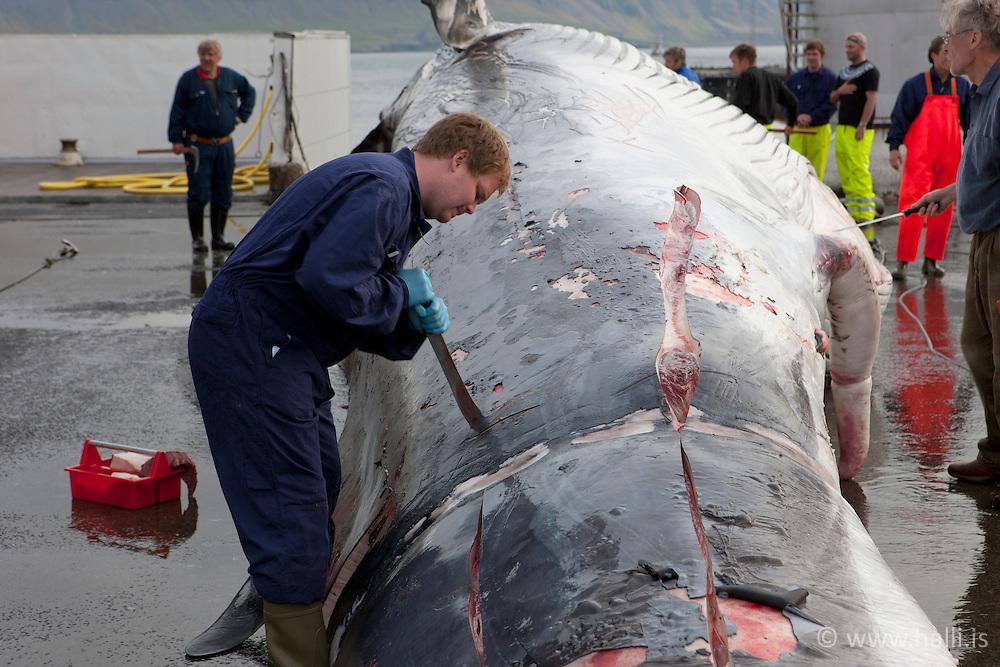 Flensing whale in Hvalfjordur, Iceland - Hvalskurður í Hvalstöðinni í Hvalfirði