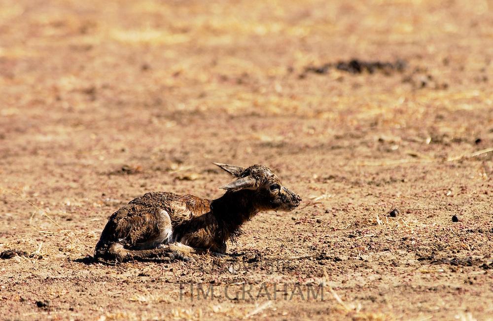 Young Thomsons Gazelle, Grumeti area, Tanzania