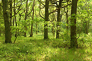 East Blean Woodlands, Kent Wildlife Trust, UK, green, spring