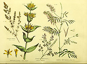 Galium verum [Cheese-rennet] Gentiana lutea [Yellow Gentian] Fumaria officinalis [common Fumitory] Galega officinalis [Goats Rue] from Vol 1 of the book The universal herbal : or botanical, medical and agricultural dictionary : containing an account of all known plants in the world, arranged according to the Linnean system. Specifying the uses to which they are or may be applied By Thomas Green,  Published in 1816 by Nuttall, Fisher & Co. in Liverpool and Printed at the Caxton Press by H. Fisher