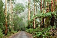 Oceania; Australia; Australian; Down Under; Victoria; Great Otway National Park,Eucalyptus Forest