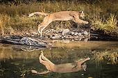 Cougar (Mountain Lion)