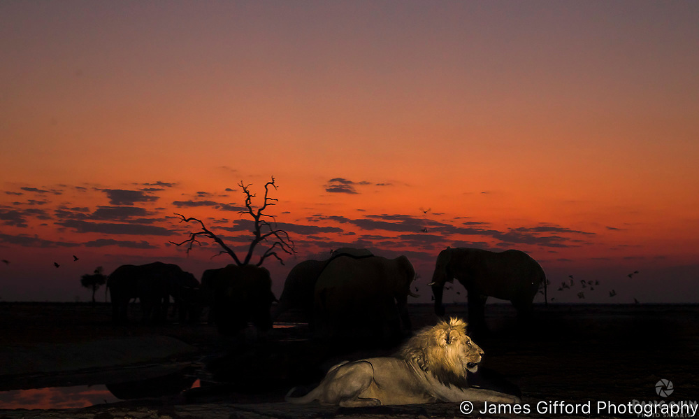 I arrived at this waterhole intending to photograph the elephants at night so I was delighted to find this male lion guarding the water, wiht the bulls in the background. Exposing for the sky, I lit up the lion with a narrow burst of flas, fortunately just as a flock of sandgrouse took off from the far side of the water.