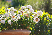 White geranium flowers in a big flower pot the garden Clos des Iles Le Brusc Six Fours Cote d'Azur Var France